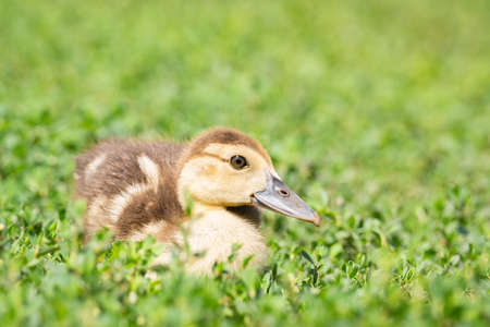 Head cute little yellow newborn duckling in green grass. Newly hatched duckling on a chicken farm - close-up portrait. Stok Fotoğraf - 129304681