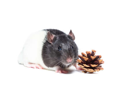 Rat with a pine cone on a white isolated background