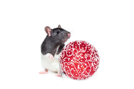 Rat with Christmas ball on isolated white background