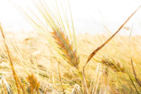 Close up of ripe barley ears in a field. Harvesting period