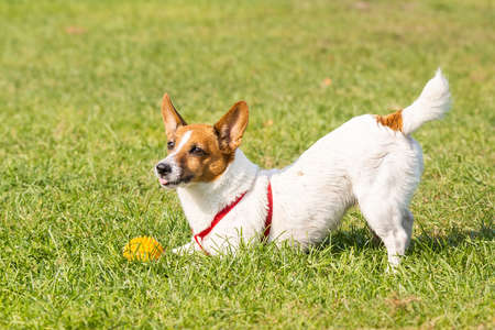 Jack Russell terrier dog in the park on grass meadow Archivio Fotografico