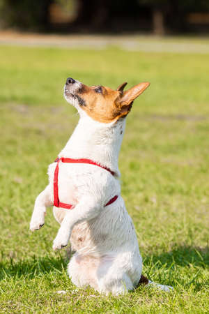 Jack Russell terrier dog in the park on grass meadow Stock fotó