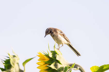 Bird - Yellow Wagtail (Motacilla flava) male, spring time