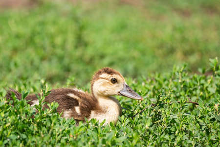 Head cute little yellow newborn duckling in green grass. Newly hatched duckling on a chicken farm - close-up portrait.