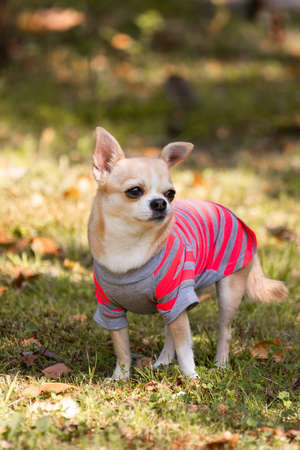 Chihuahua dog on the green grass in Park