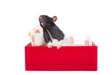 Rat in a gift box with money on a white background