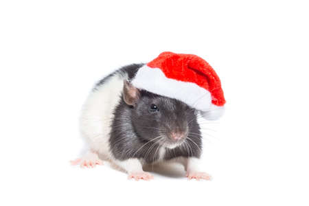 Rat in Santas red riding hood on a white isolated background
