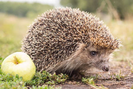 Hedgehog on a green grass. Hedgehog needles pinned on apples, peaches and plums. Hedgehog curled up into a ball. Stock fotó