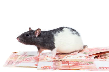 rat on money on isolated white background, rat concept with money for new year and Christmas