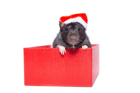 Gray rat on gift box. Isolated on white background. beauty on a gift for new year and Christmas