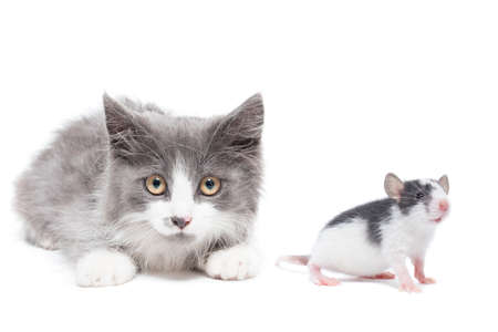 kitten and rat on white background, animals on isolated background