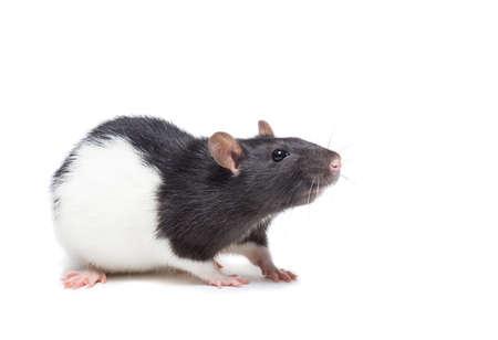 Ratte Nahaufnahme isoliert auf weißem Hintergrund, Ratte auf Neujahr und Weihnachten Standard-Bild