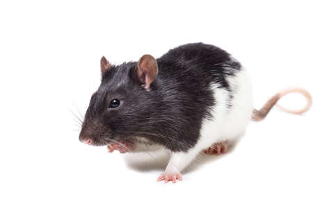 rat close-up isolated on white background, the rat is a symbol of the year 2020