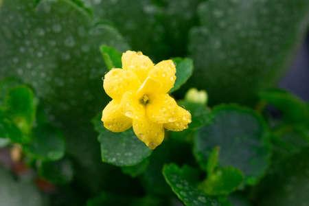 Close up Kalanchoe blossfeldiana or Florist Kalanchoe flowers color yellow.