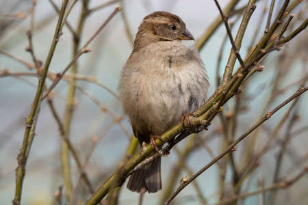 Close-up of beautiful brown sparrow perched on blooming tree twig. Wildlife, bird in early spring, outdoors, passeridae