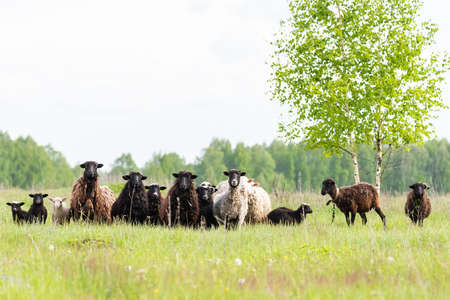 Flock of Sheep in a green meadow curiously looking at camera. flock of sheep on the field. selective focus