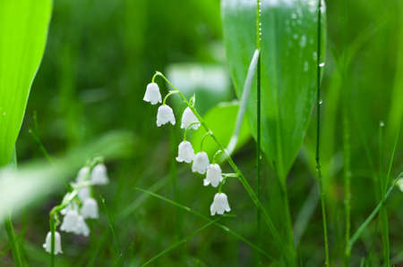 Lily of the valley, Convallaria majalis white flowers imacro in forest