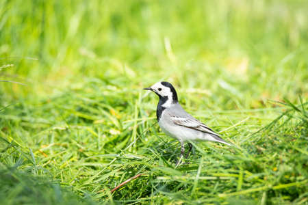 Beautiful black and white bird, Male of White Wagtail (Motacilla alba) standing on branch showing its side profile in nature of russia