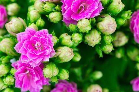 Kalanchoe blossfeldiana (Flaming Katy, Christmas Kalanchoe, Florist Kalanchoe) red flowers, family Crassulaceae 版權商用圖片