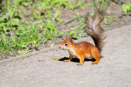A wild squirrel eating in the green grass park