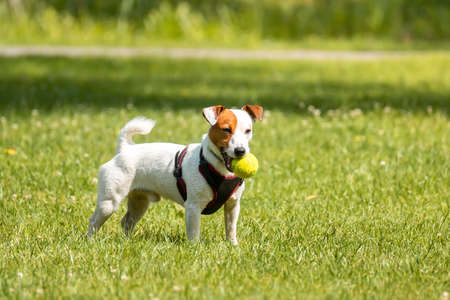 Jack Russell terrier dog in the park on grass meadow 版權商用圖片