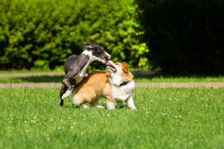 A Greyhound dog plays with a Corgi on the green grass in the Park