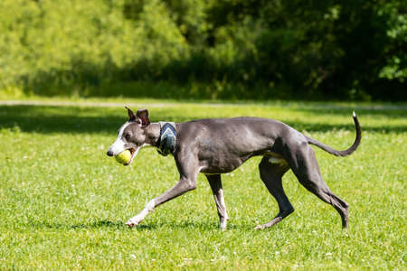 Dog breed hound Greyhound walking in the Park on the grass