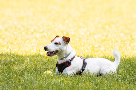 Jack Russell terrier dog in the park on grass meadow Banco de Imagens