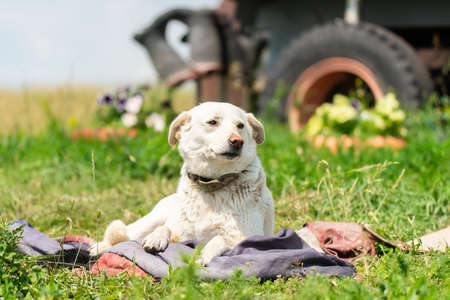 Big stray dog resting on grass. Homeless pooch near tree outdoors.
