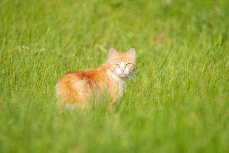 A red-haired yard cat walks on the green grass and looks at the camera