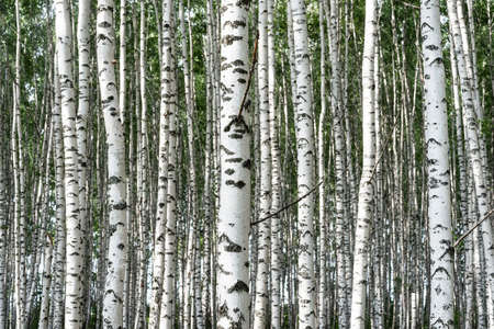 Birch grove on a sunny summer day, summertime landscape, abstract background 版權商用圖片