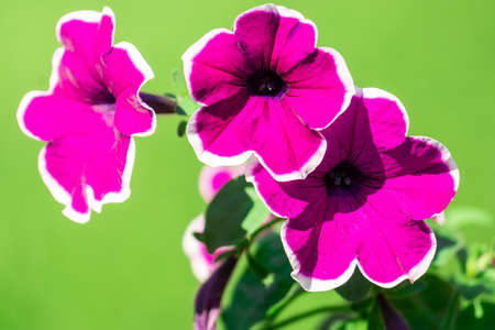 Petunia ,Petunias in the tray,Petunia in the pot, purple petunia 版權商用圖片