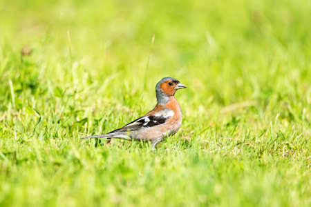 The common chaffinch (Fringilla coelebs) is a common and widespread small passerine bird in the finch family 版權商用圖片