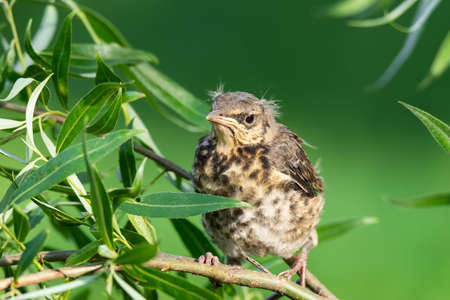 On the green branch of the tree sits a funny yellow-throated chick of a field thrush. The concept of nature. Green natural blurred background, copy space, close-up 版權商用圖片