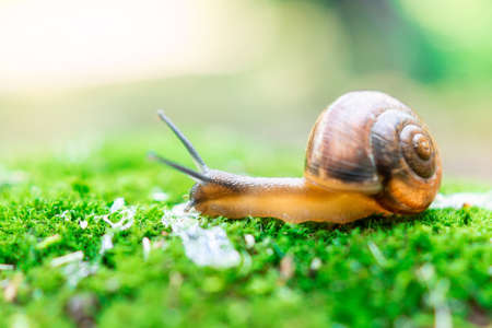 A small Achatina snail sitting on a stump tilted its Brown sink. Mustache eyes touch grass. Snail in the natural nature.