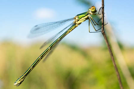 Dragonfly sitting on a dry stick, wildlife. A thin blue dragonfly sits on a narrow leaf of grass. Out of focus. 스톡 콘텐츠