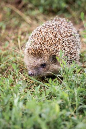 Hedgehog, (Scientific name: Erinaceus europaeus) Wild, native, European hedgehog in natural garden habitat with green grass and yellow buttercup. Space for copy. Horizontal. Archivio Fotografico