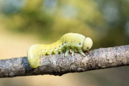 A pretty Birch Sawfly Caterpillar (Cimbex femoratus) feeding on silver birch in woodland