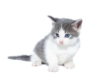 Small gray and white kitten on a white background Archivio Fotografico