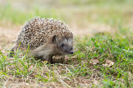 Hedgehog, (Scientific name: Erinaceus europaeus) Wild, native, European hedgehog in natural garden habitat with green grass and yellow buttercup. Space for copy. Horizontal.