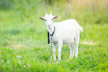 White baby goat on green grass in sunny day