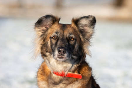 A portrait of large mixed-breed stray dog Sheepdog taras off to the side against a winter white background. Copy space. The dog's eyes search for its owner. Imagens