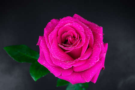 Natural red roses background. Colorful rose wall background.