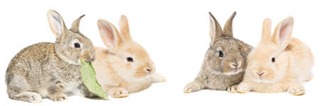 Cute red and gray easter rabbit bunny isolated on white background