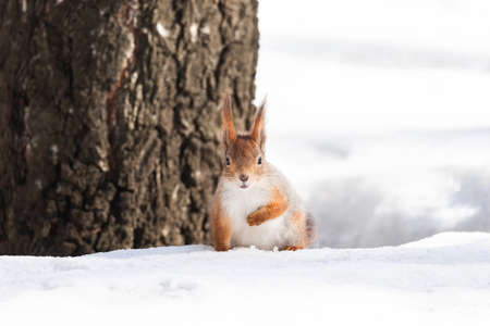 Cute funny bushy tailed eurasian red squirrel sitting on a tree branch in the winter snow Stock Photo