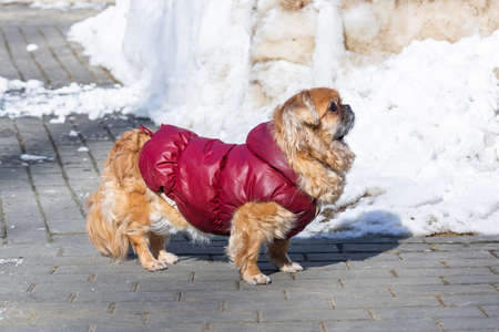 Portrait of small Pekingese dog on white blurred background.Do not leave animals in winter. Concept of animal shelter.
