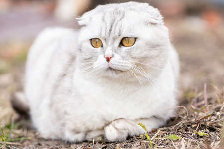 Lovely white gray kitten sitting on a green grass in the garden. Cute domestic animal portrait. Kitty relaxed outdoor