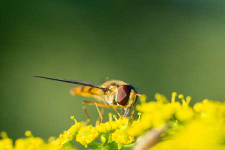 Eristalis pertinax is a European hoverfly. A macro shot of a hoverfly (Eristalis pertinax).