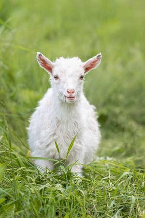 White baby goat on green grass in sunny day 版權商用圖片