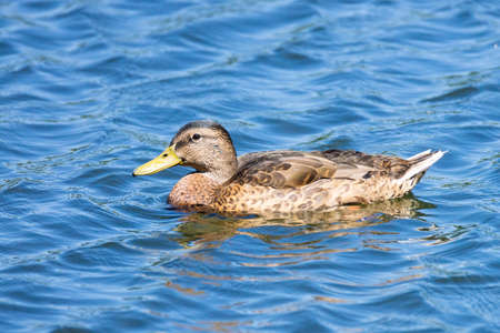 Mallard duck swimming on a pond picture with reflection in water 版權商用圖片